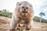 Wombat_Image credit Li Lai